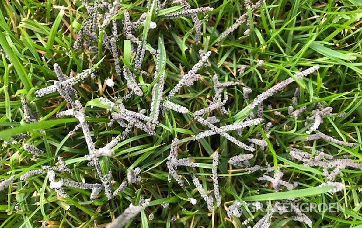 Gazonziekten1 • Gras en Groen Winkel