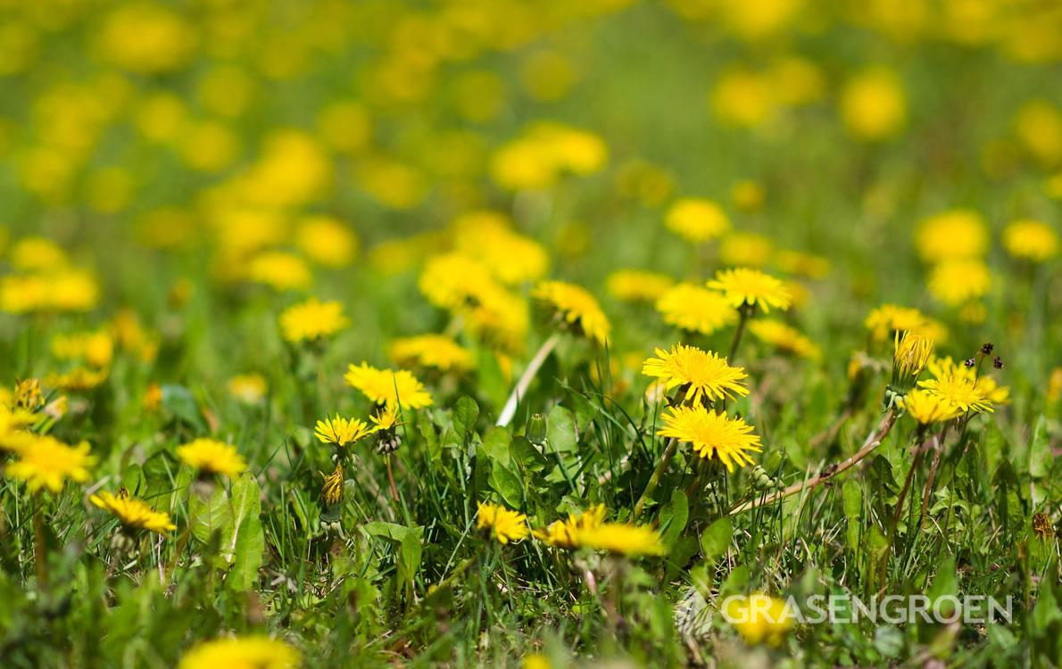 Gazononkruid4 • Gras en Groen Winkel