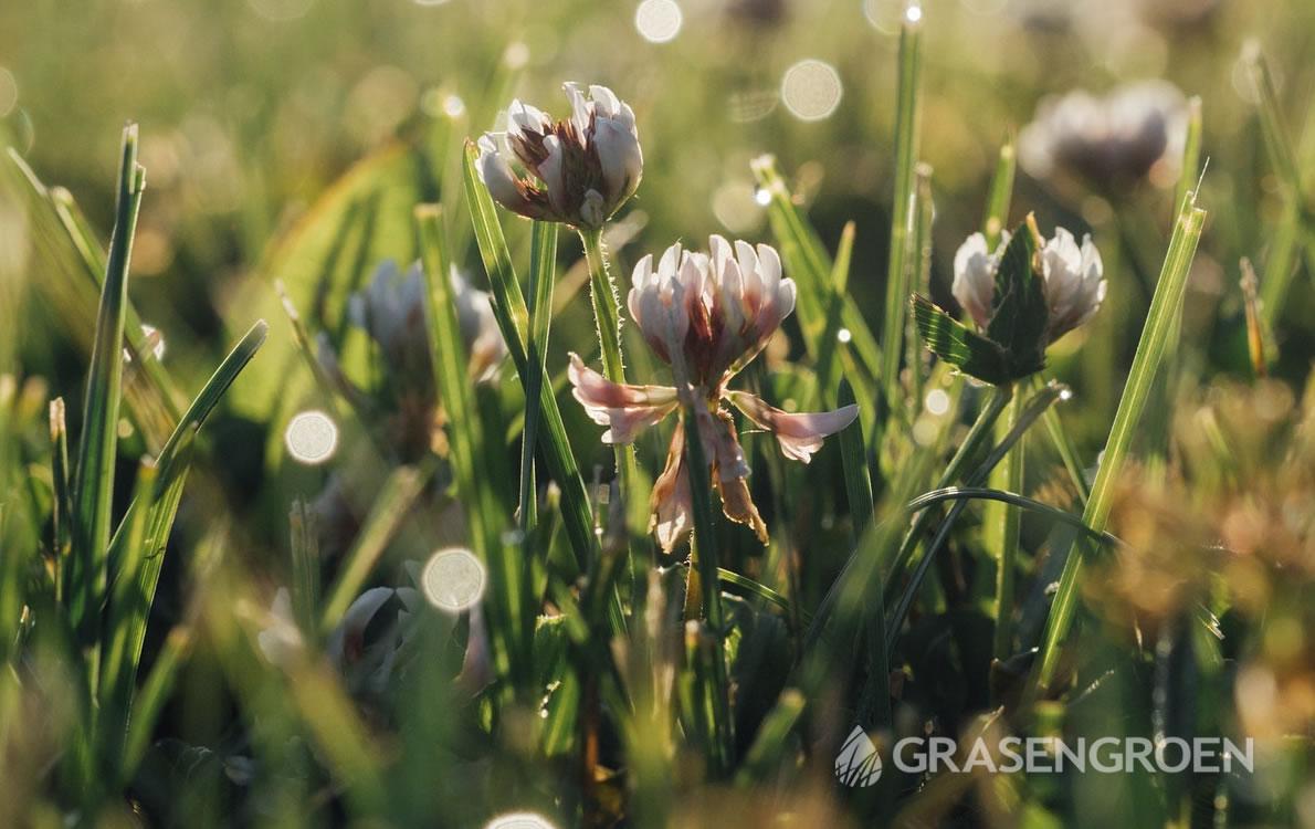 Gazononkruid1 • Gras en Groen Winkel