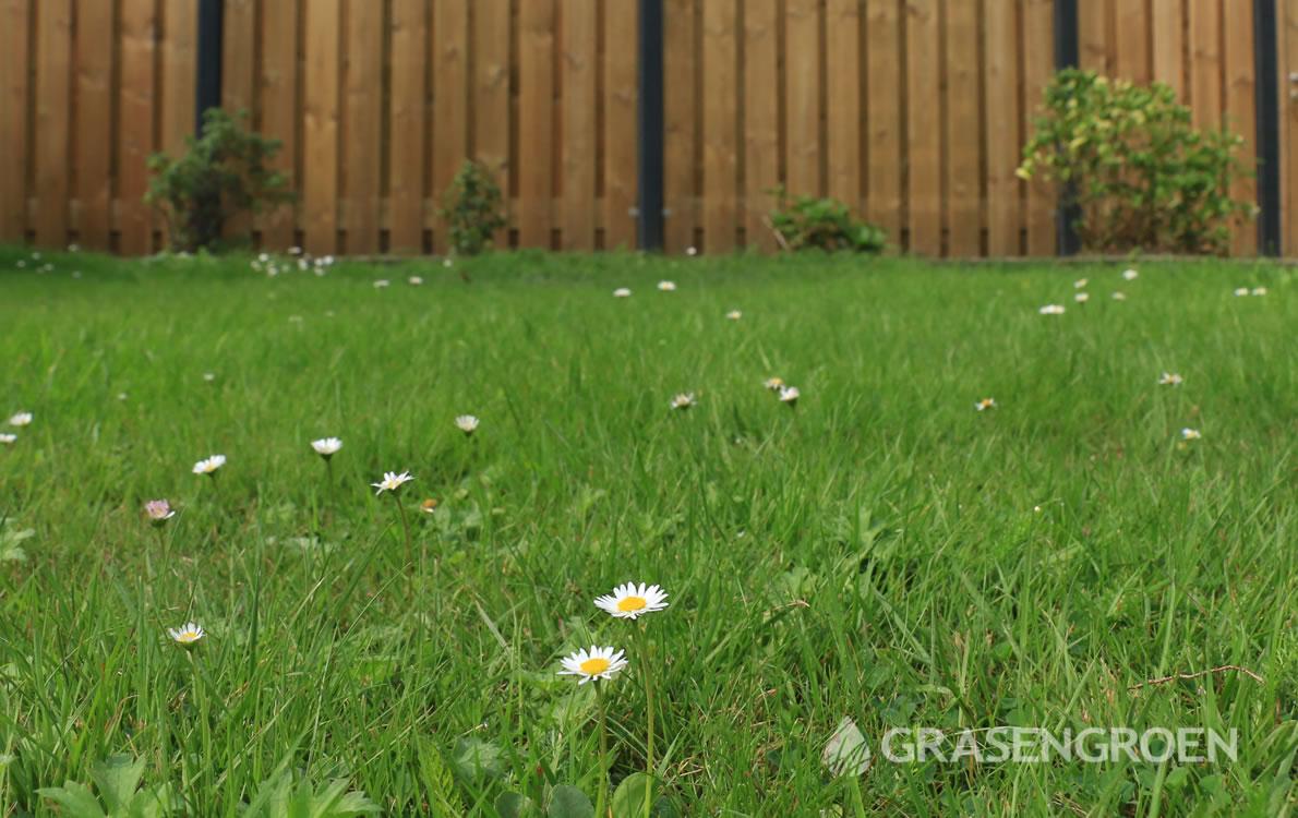 Gazononkruid3 • Gras en Groen Winkel