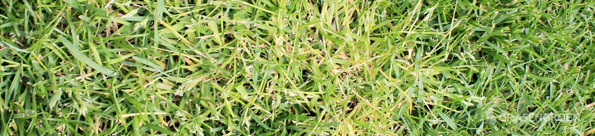 Straatgras • Gras en Groen Winkel