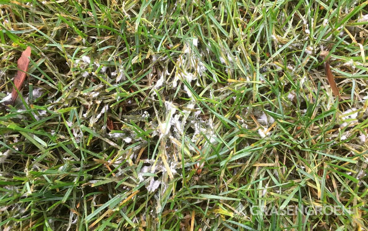 Sneeuwschimmel1 • Gras en Groen Winkel