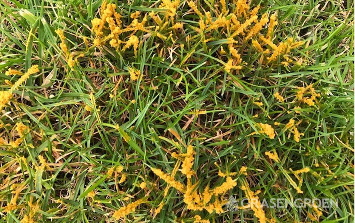 Omvalziekte2 • Gras en Groen Winkel
