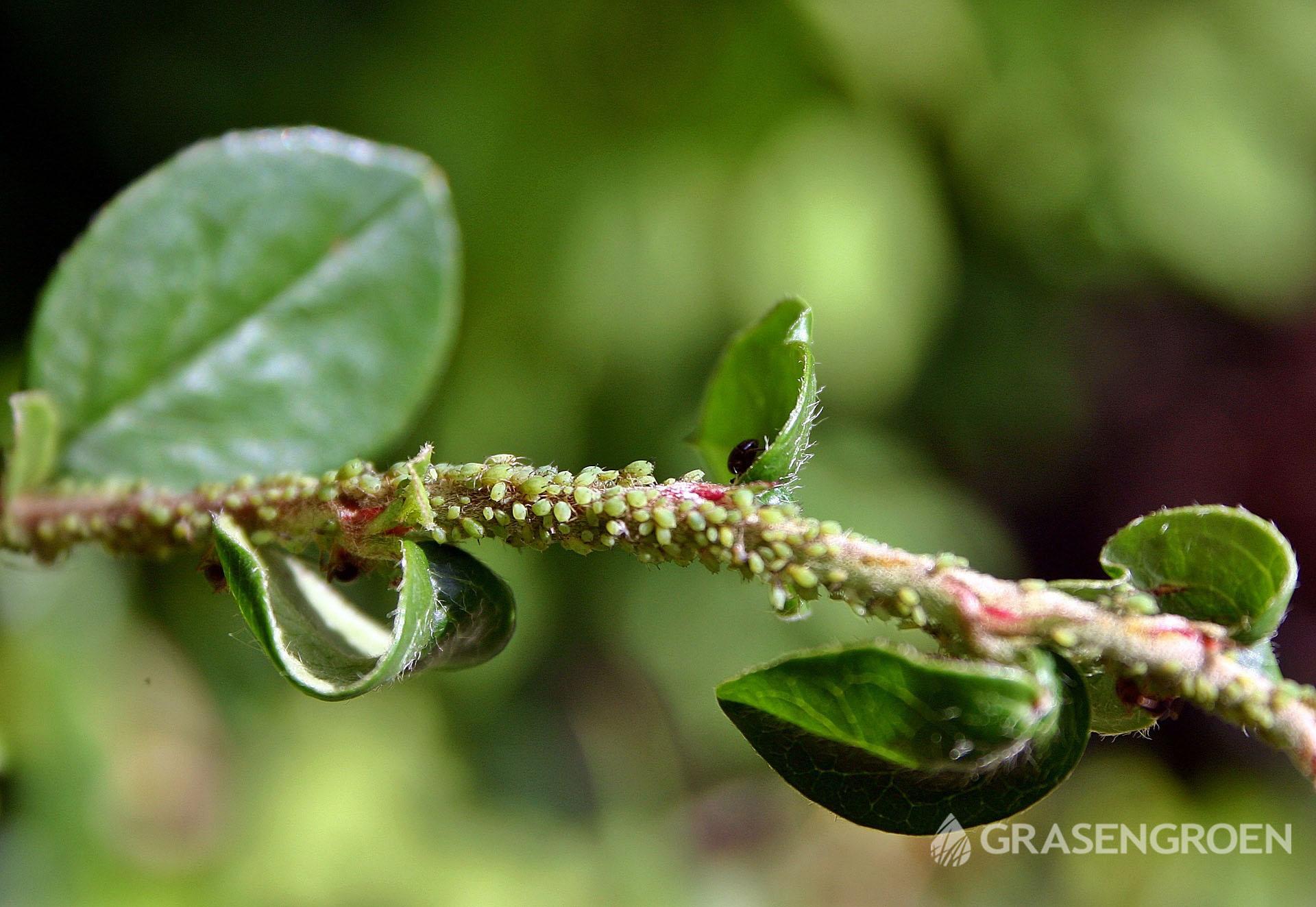 Bladluis3 • Gras en Groen Winkel
