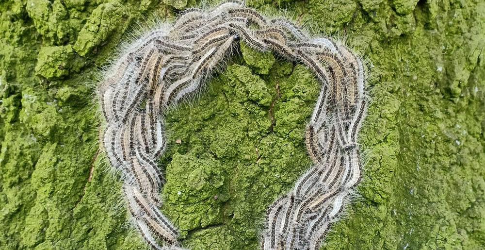 Eikenprocessierups • Gras en Groen Winkel