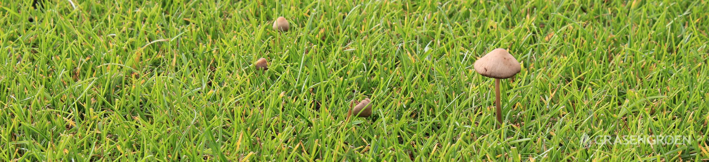 Paddenstoelengazon • Gras en Groen Winkel