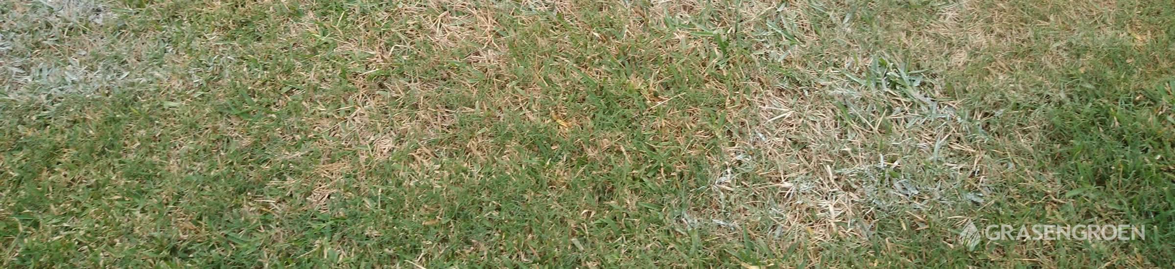 Sneeuwschimmel • Gras en Groen Winkel
